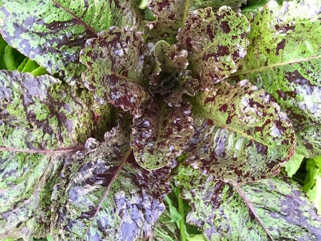 lettuce 4.JPG
